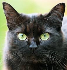 Cats vuò? (Robyn Hooz) Tags: jenny padova gatto sguardo eye eyes occhidigatto miao micia micetta pelo orecchie baffi nero pet schroedinger ears omg