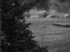 rain passed by.. (2) (Ange 29) Tags: wet shrubs flowers lawn rocks bw olympus omd em1 mkii 35100mm zd king township canada