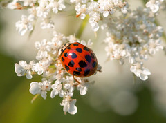 Ladybug Visits Queen Anne (arlene sopranzetti) Tags: ladybird beetle parked red wild carrot queen annes lace liberty farm sandyston nj sussex county summer insect bokeh