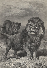 Beautiful Cape Lion wood engraving - from Brehm's Life of Animals, Tierleben 1864, Alfred Edmund Brehm 1892 edition (skaradogan) Tags: lion from brehms life animals tierleben 1864 alfred edmund brehm 1892 edition beautiful wood engraving cape