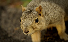 Squirrel, Morton Arboretum. 432 (EOS) (Mega-Magpie) Tags: canon eos 60d nature outdoors squirrel wildlife the morton arboretum lisle il illinois dupage usa america