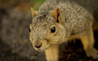 Squirrel, Morton Arboretum. 432 (EOS)