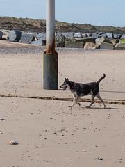 056-P1030841 LR (1gl) Tags: 2018 carpet carpets killer gumbo norfolk wintertononsea beach dogs coast