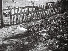 Chicken (Matthew Paul Argall) Tags: kodakpocketinstamatic200 fixedfocus 110 110film blackandwhite blackandwhitefilm lomographyfilm subminiaturefilm 100isofilm chicken grainyfilm grainy bird animal farm