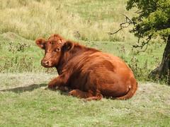 Cow, Abergavenny Road, Blaenavon, Pontypool 29 August 2018 (Cold War Warrior) Tags: cow blaenavon pontypool