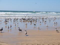 Festim de gaivotas (aclopes50) Tags: gaivotas peixe frenesim agitação areia mar comida ataque comer bando grupo voar liberdade fujix30