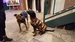 20180102_125447 (Alpen Schatz - Mary Dawn DeBriae) Tags: happy customer alpenschatz bernesemountaindog dog swissdogcolar hunterswisscrosscollar doggles stein
