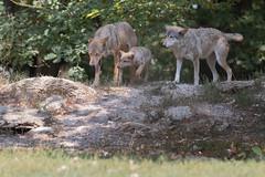 FAMILIE WOLF (rentmam1) Tags: bad mergentheim wildpark
