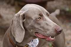 My best side (Millie Cruz) Tags: face chocolate weimaraner dog tamron18400mm canoneosrebelt6i animal pet brown collar bandana tail portrait park animalplanet inspiredbylove