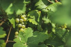 Grapes (einhundertstel.eu) Tags: grape plant outdoor nature leaves