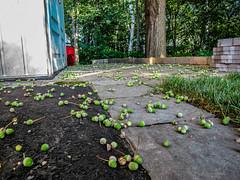 2018 - photo 249 of 365 - acorns, lots of acorns (old_hippy1948) Tags: acorns