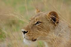 my all time favorite Lioness (cirdantravels (Fons Buts)) Tags: ngc lion leeuw lioness leeuwin löwe panthera leo carnivora feline felinae felidae bigcat moremi