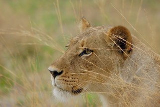 my all time favorite Lioness