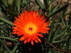 Aptenia cordifolia..Rocío...escarcha