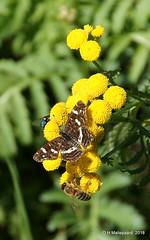 Landkaartje (ditmaliepaard) Tags: vlinder butterfly landkaartje bloemen flowers opdefiets haarsteegsewiel