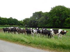 Vaches#8 (JPC24M) Tags: cow troupeau génisse vachette herbe grass