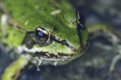 FROG!!! (Konstantin Lukas) Tags: 蛙 緑 自然 接写 動物 ドイツ frog green nature macro animal germany rana verde naturaleza frosch grün tier natur see lago lake 湖