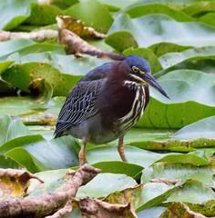 Beauty (kirsten.eide) Tags: nature animals water birds