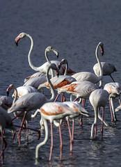 Grupo de Flamencos (ibzsierra) Tags: ibiza eivissa baleares canon 7d tamron g2 150600 ave bird oiseau flamenco flamingo salinas parque natural grupo manada