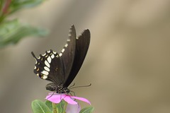 Sipping on a flower (Vidya...) Tags: mormon indian butterfly black nectar sucking powdery yellow swallowtail