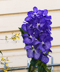 Vanda coerulea species orchid 8-18 (nolehace) Tags: vanda coerulea species orchid 818 summer nolehace sanfranciso fz1000 flower bloom plant