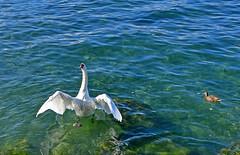 Sacré effort (Diegojack) Tags: vaud suisse lausanne d500 léman oiseaux cygnes embouchure vuachère ouchy battements transparence nikonpassion