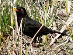 p1220973 (claudiopoli) Tags: animali animalia chordata aves passeriformes turdidae turdus merula merlo autouploadfilenamep1220973jpg