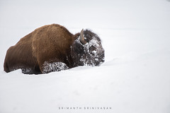 Bison (srimanthks) Tags: wildlife animals animalplanet bison yellowstone snow white cold winter