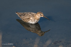 Dunlin 501_3150.jpg (Mobile Lynn) Tags: dunlin birds nature bird calidrisalpina fauna wildlife newforestdistrict england unitedkingdom gb