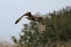 Short-eared Owl (Asio flammeus) (Brendan A Ryan) Tags: shortearedowl asioflammeus