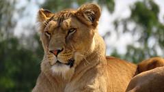 Lioness - Beekse Bergen - Noord-Brabant - The Netherlands (Felina Photography - www.mountainphotography.eu) Tags: pantheraleo leo lion leeuw lioness leeuwin löwe cat felina feline beeksebergen holland nederland thenetherlands safaripark safari wildlife