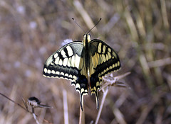 Swallowtail (wit) Tags: lepidoptera butterfly papiliomachaon papilio papilionidae