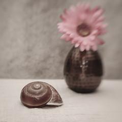 Filipino Snail Shell (N.the.Kudzu) Tags: tabletop stilllife nature filipino snail shell vase flower canondslr lensbabysol45 lightroom