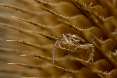 Xysticus crab spider (markhortonphotography) Tags: spiky texture spider seedhead macro wildlife arachnid teasel flower xysticus nature seed surreyheath surrey crabspider invertebrate