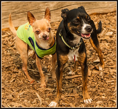 Jax and Friend (ScottElliottSmithson) Tags: squalicumcreekpark squalicumcreek squalicum dog dogpark park chihuahua chiwhippet bellingham washingtonstate dogparks canon eos eos7d 7d scottelliottsmithson scottsmithson dtwpuck animal canine silly