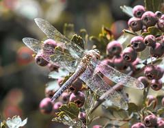 Rainham dragonfly