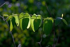 IMG_0036 2 x 2 (oldimageshoppe) Tags: leaves honeysuckle backlit afternoonsun latesummer