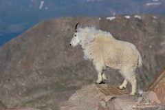 Mountain Goat (fascinationwildlife) Tags: animal mammal wild wildlife nature natur rock rocky mountains summer schneeziege mountain goat colorado usa america tiere mount evans morning
