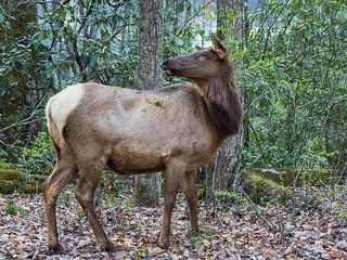 IMGPJ06209C_Fk - Great Smoky Mountain National Park - Elk