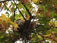Tourterelle turque au nid (chriscrst photo66) Tags: bird animal oiseau arbre feuilles nid tourterelle turque nikoncoolpixp900