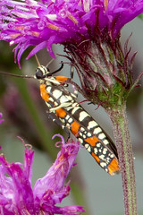 Ailanthus Webworm Moth (mattbpics) Tags: ef100mmf28lmacroisusm canon 100 100mm 70d lepidoptera moth ailanthuswebwormmoth insect macro ironweed