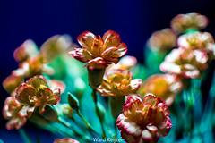 Anjer Carnation (wardkeijzer_107) Tags: flower dof bloemen bokeh beautiful light anjer carnation nikkor35mm nikon d7200 holland