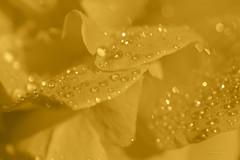 water crystals ... (mariola aga) Tags: flower rose petals waterdrops water macro closeup hue bokeh art coth alittlebeauty coth5