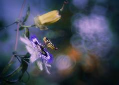 The Queen (ursulamller900) Tags: trioplan2950 passiflora passionsblume mygarden bokeh