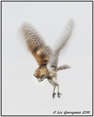 Scouting The Terrain (pandatub) Tags: ebparks ebparksok bird birds owl barnowl hrs haywardregionalshoreline