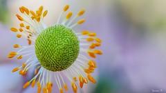 Pollen - 5865 (ΨᗩSᗰIᘉᗴ HᗴᘉS +24 000 000 thx) Tags: flora flower fleur pollen nature hensyasmine namur belgium europa aaa namuroise look photo friends be wow yasminehens interest intersting eu fr greatphotographers lanamuroise
