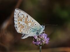 Bläuling (Hugo von Schreck) Tags: hugovonschreck schmetterling butterfly macro makro insect insekt fantasticnature tamron28300mmf3563divcpzda010 buzznbugz canoneos5dsr
