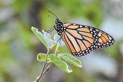 DSC_9939 (greenjay2) Tags: butterflies insects monarchdanausplexippus