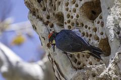 Acorn Woodpecker on the tree (mutovkin) Tags: acornwoodpecker bird g9 lumix lumixg9 oczoo panasonic panasonicg9 park woodpecker zoo