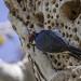 Acorn Woodpecker on the tree